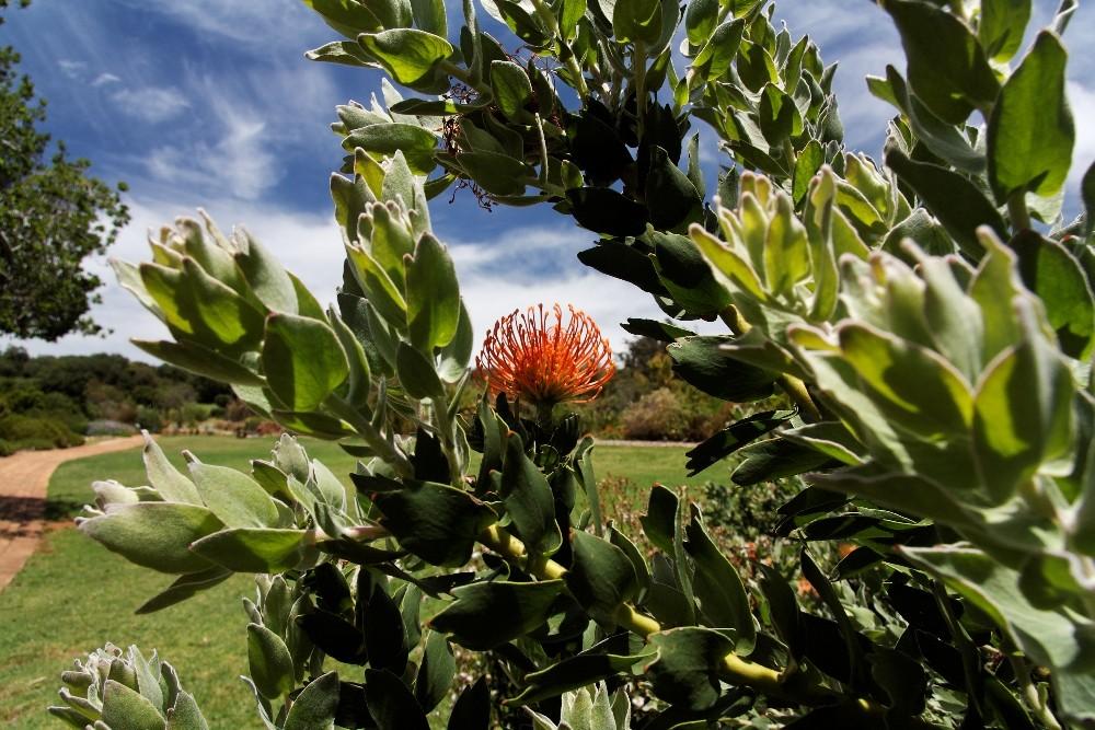 Kirstenbosch National Botanical Gardens 34