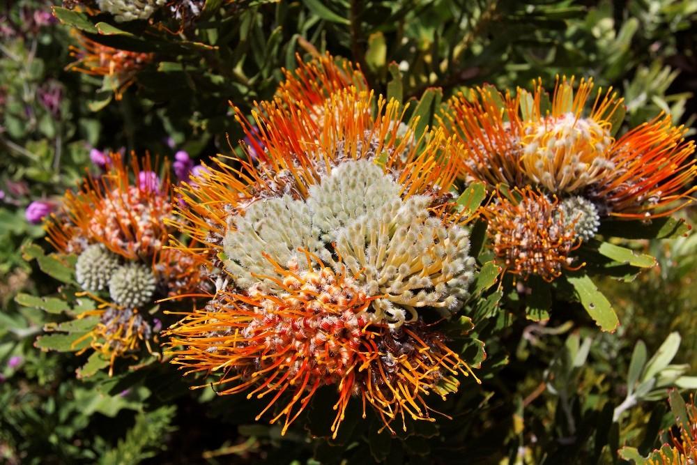 Kirstenbosch National Botanical Gardens 42