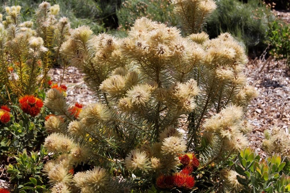 Kirstenbosch National Botanical Gardens 46