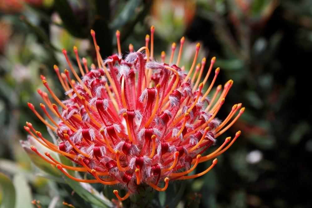 Kirstenbosch National Botanical Gardens 50