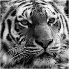 kiss me, tiger ...