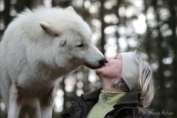* Kiss of a wolve '