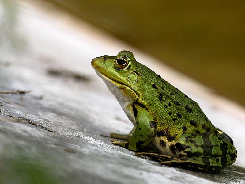 Kiss the Frog!