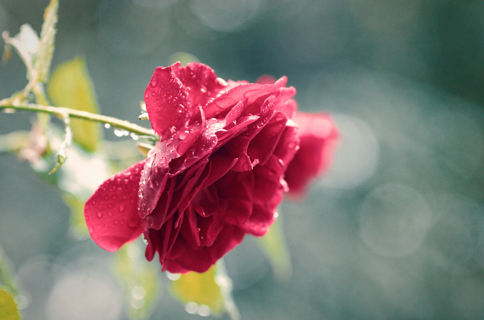 Kitsch mit Regen und Rose