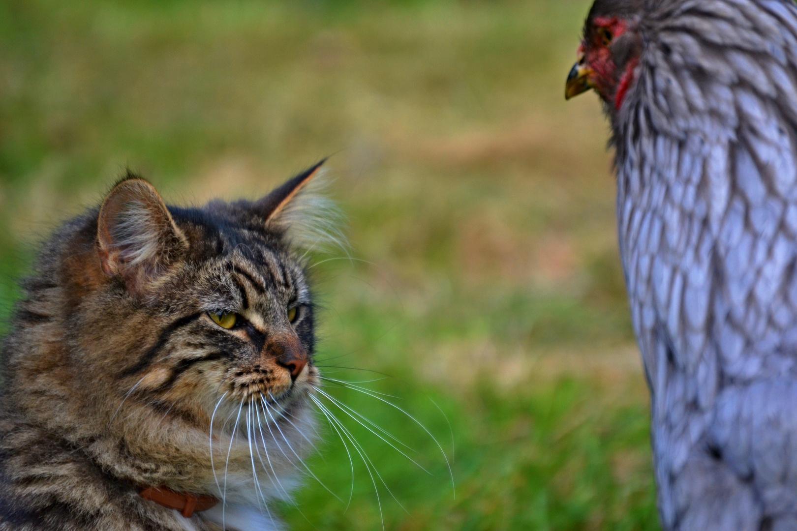 Kitten trifft Chicken