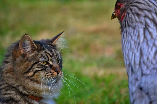 Kitten trifft Chicken