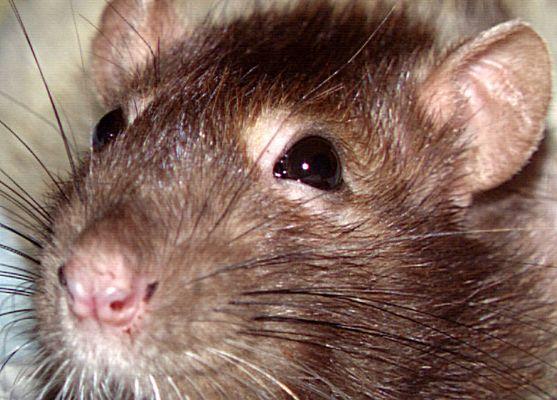 kitty, die Ratte