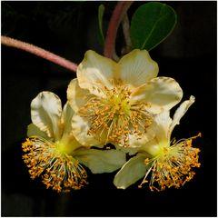 Kiwi : fleurs mâles