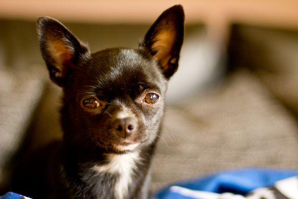 Kiwi unser kleiner 7 Monate alter Chihuahua Hund