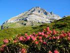 kl. Windgälle mit Alpenrosen
