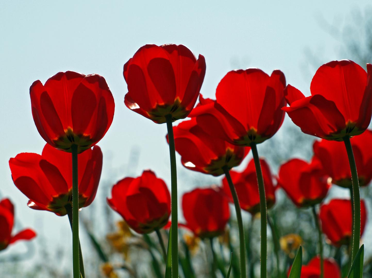 Klatsch-Tulpen
