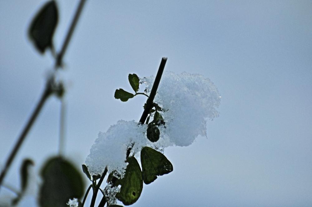 Klee bedeckt mit Schnee