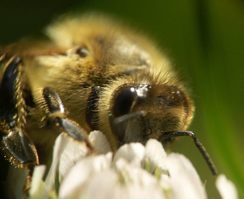 Klee-Honig in Arbeit