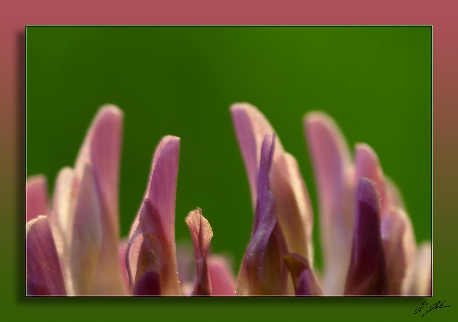 Kleeblüte im Wind 2