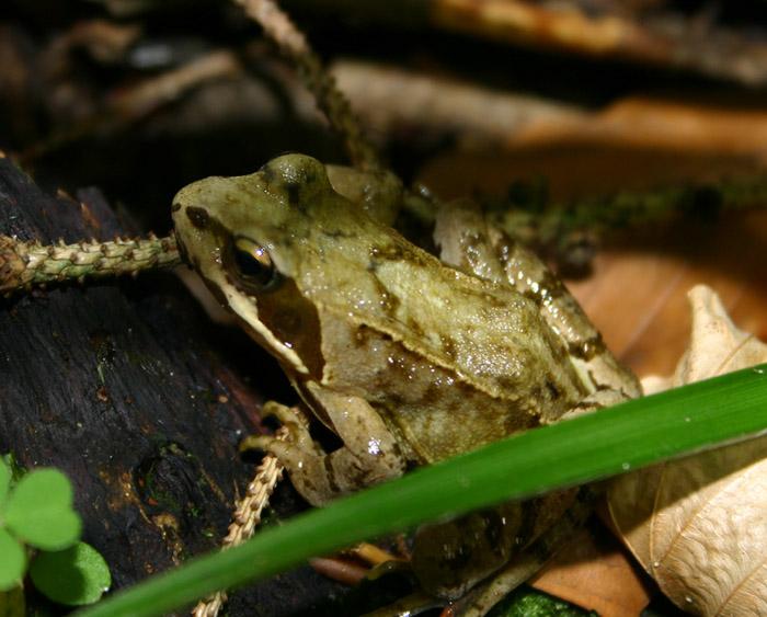 kleene Frosch