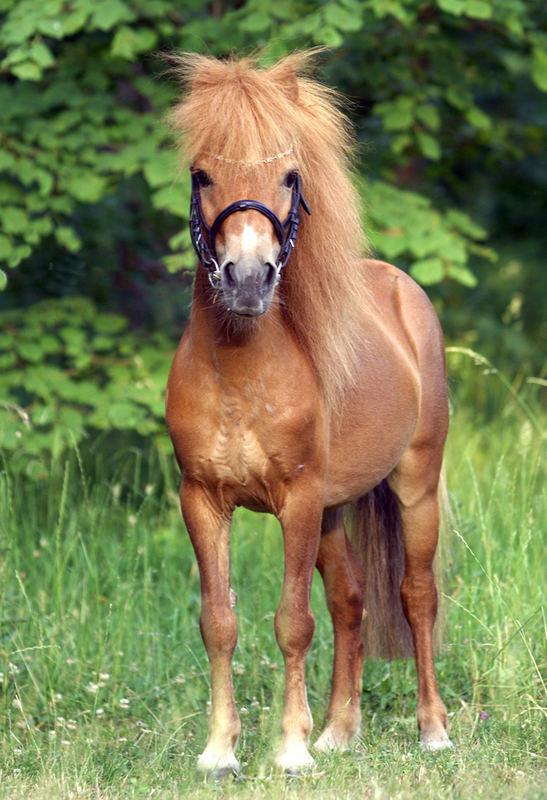 klein aber ein richtiges Pferd