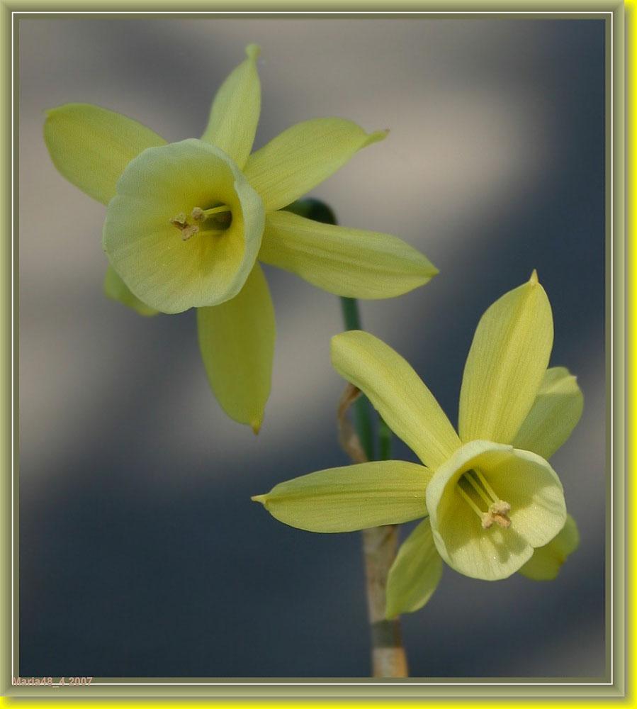 Klein geeltje/ Little yellow one