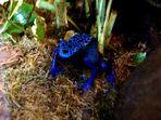 klein,blau und giftig