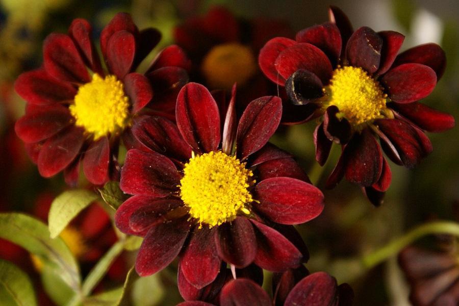 kleinblütige Chrysanthemen