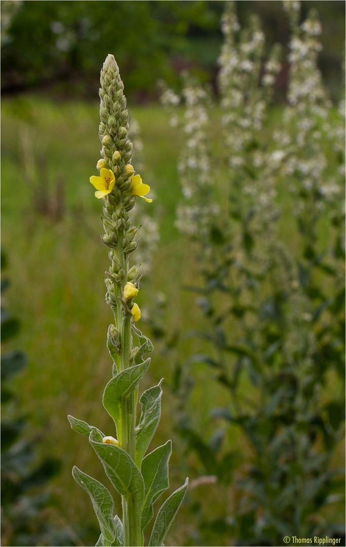 Kleinblütige Königskerze (Verbascum thapsus)