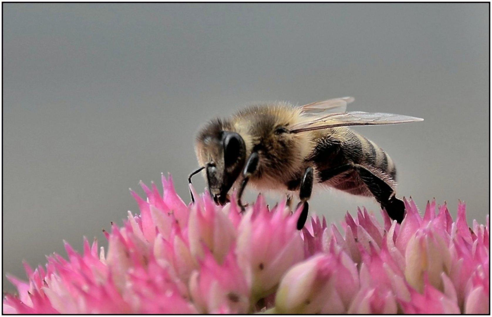 Kleine Biene ganz groß !