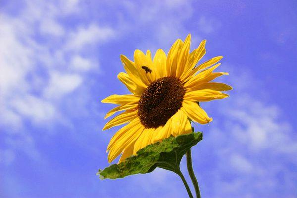 Kleine Biene, große Blume