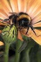 Kleine ....Biene oder...Hummel...oder...?