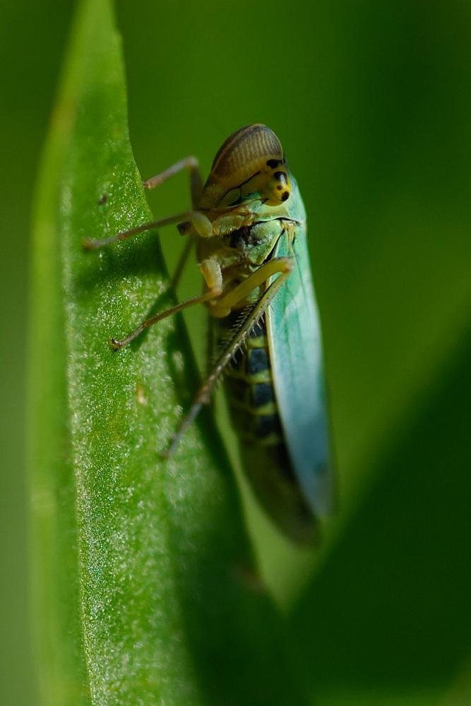Kleine blaue Zikade