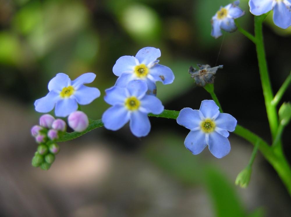 kleine Blume mit großem Namen - VergissMeinNicht