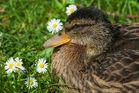 kleine Ente mit Gänseblumen
