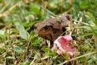 Kleine Erdkröte