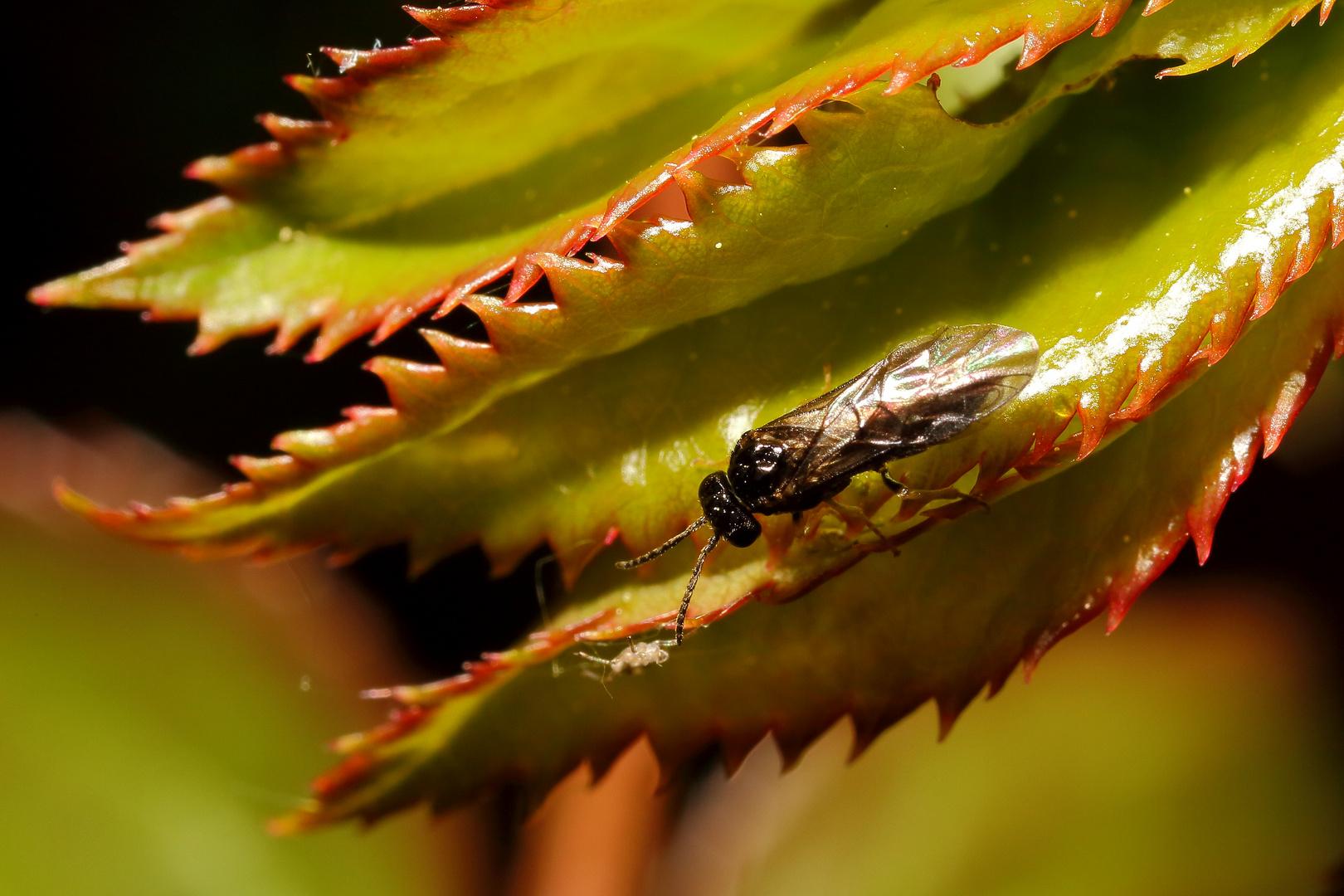 Kleine Fliege (Haarmücke?)