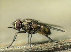 Kleine Fliege mal ganz groß!