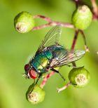 Kleine Fliege mal ganz groß