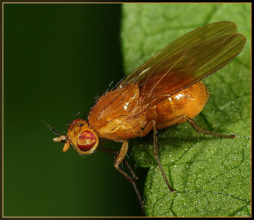 kleine gelbe fliege foto bild tiere wildlife insekten bilder auf fotocommunity. Black Bedroom Furniture Sets. Home Design Ideas
