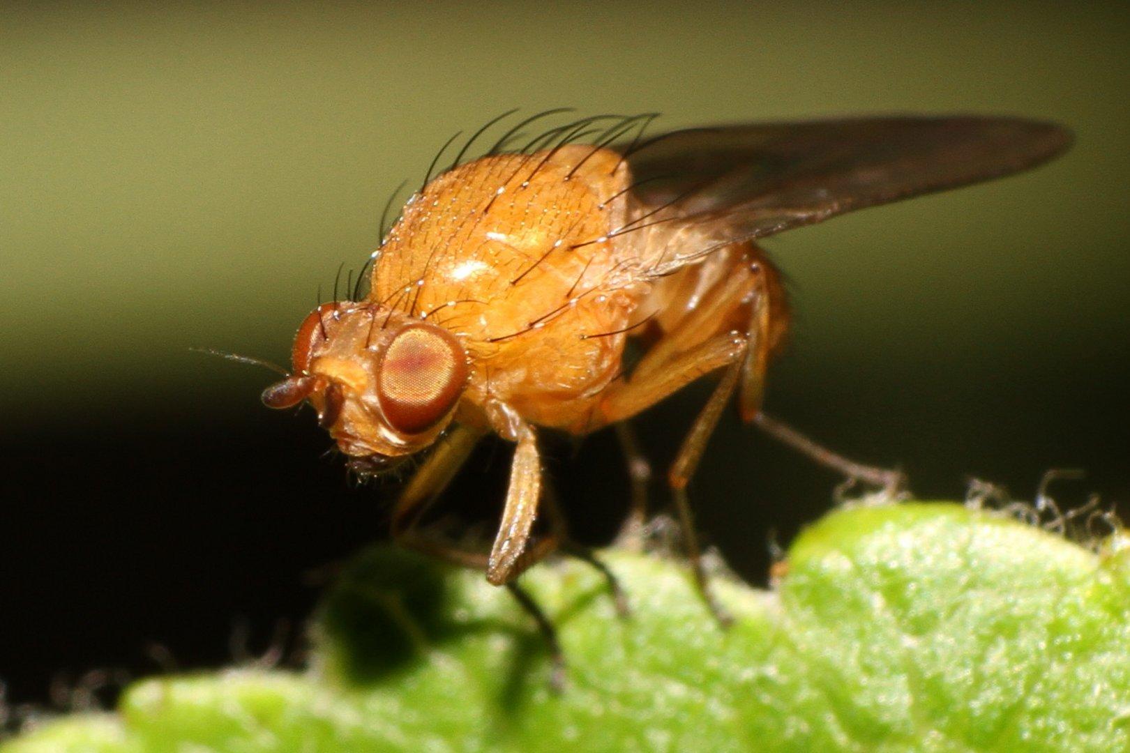 Kleine Fliegen Stechen