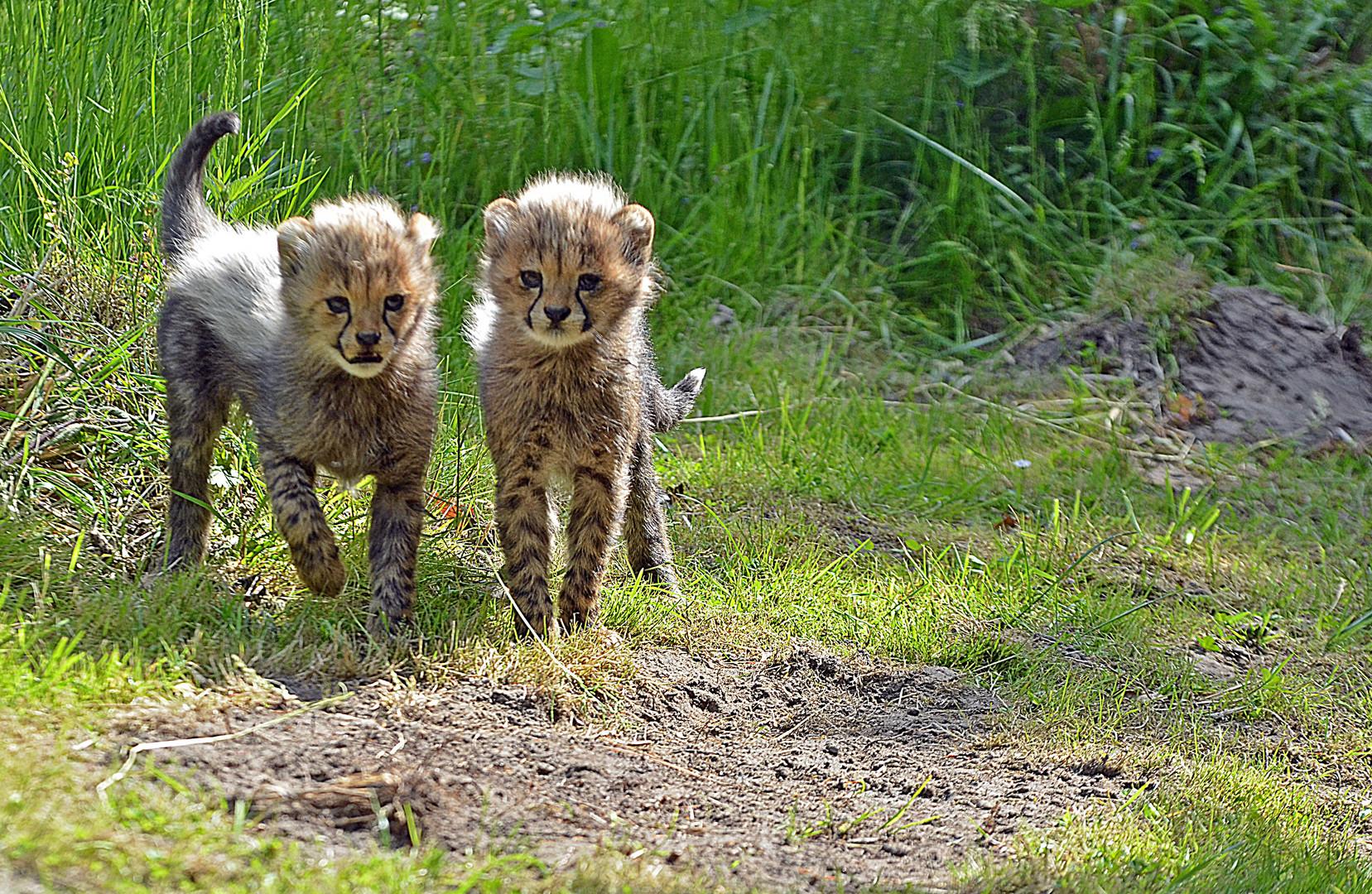 """"""" kleine Geparden......"""