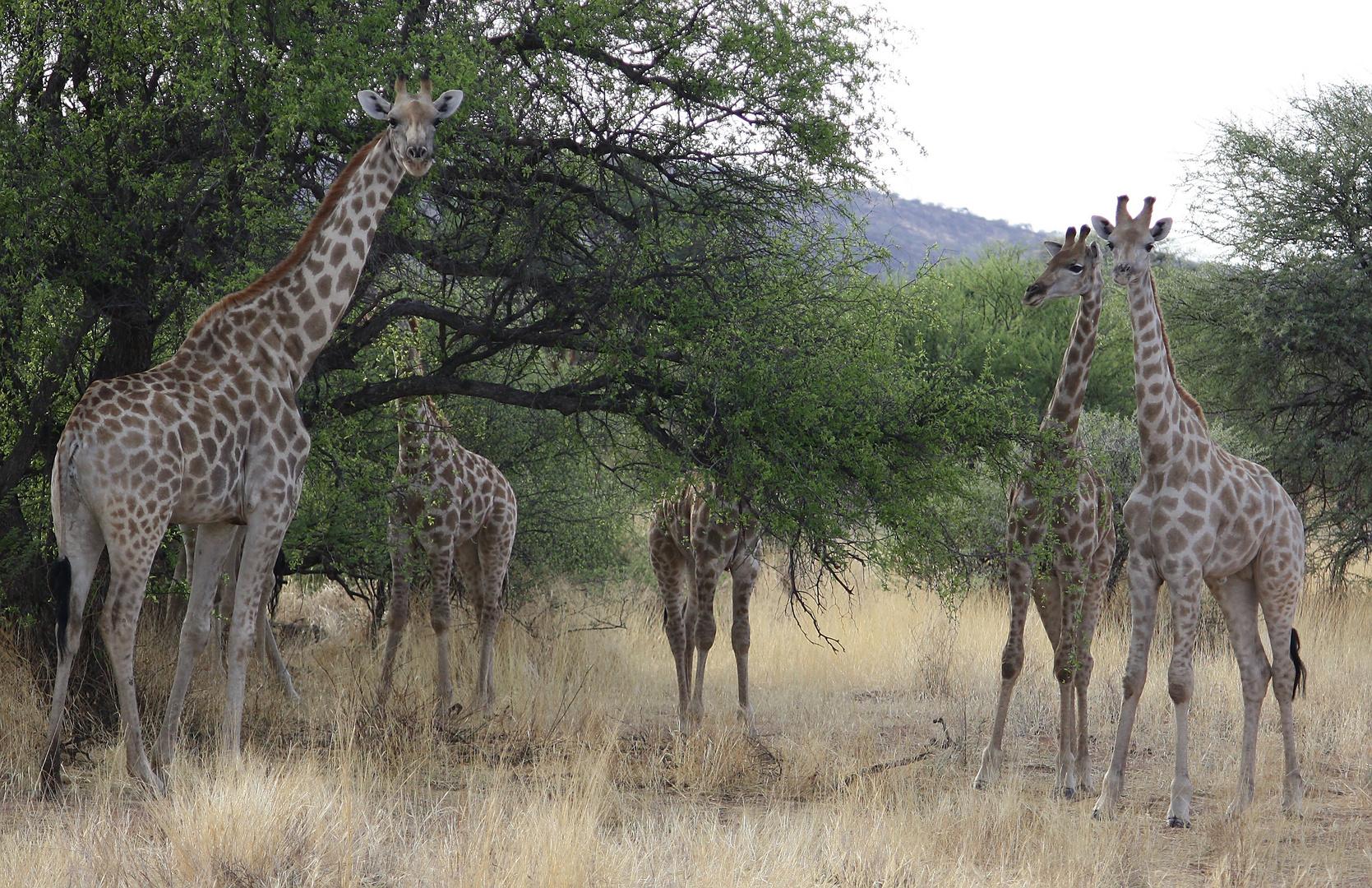 Kleine Giraffenherde