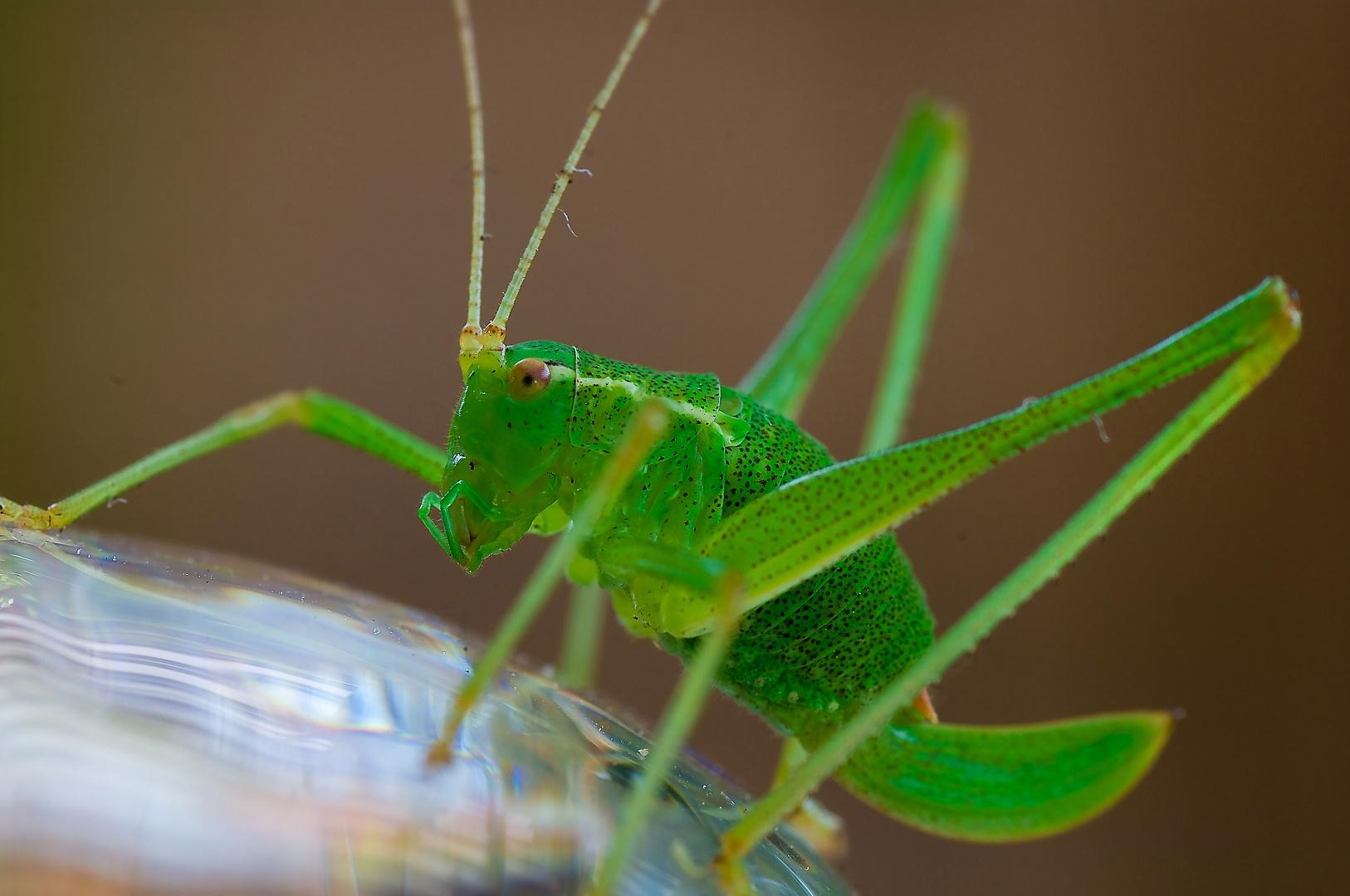 kleine grüne Heuschrecke
