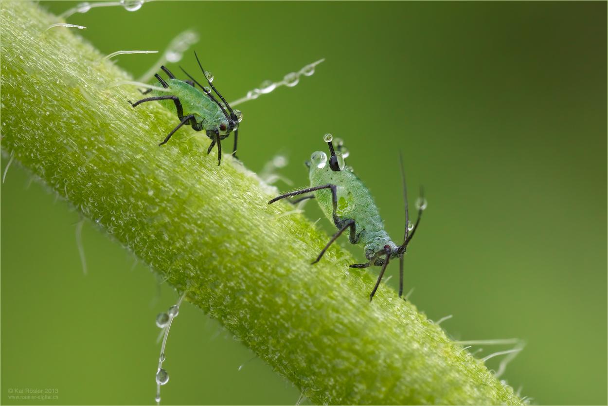 Kleine grüne Männchen