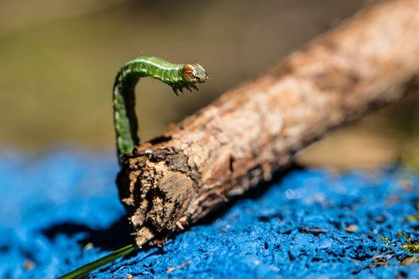 kleine grüne Raupe unbekannt