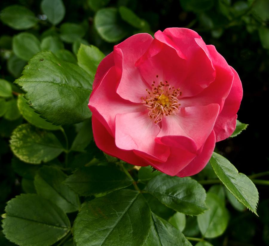 kleine heckenrose foto bild pflanzen pilze flechten bl ten kleinpflanzen rosen. Black Bedroom Furniture Sets. Home Design Ideas