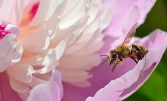 Kleine Honigsammlerin