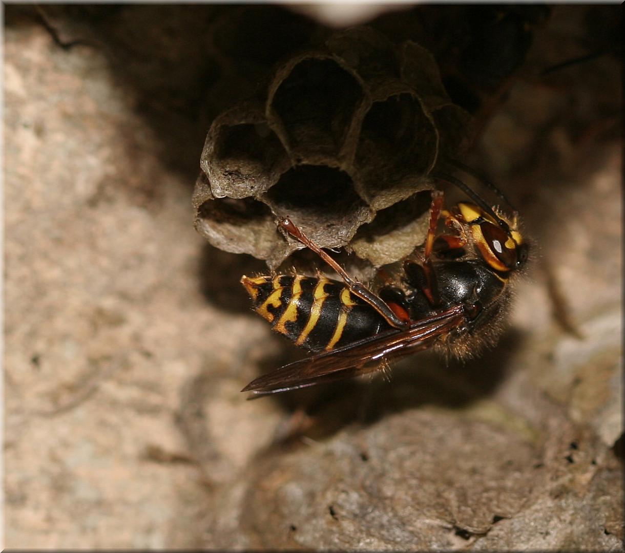 Kleine Hornisse oder Mittlere Wespe