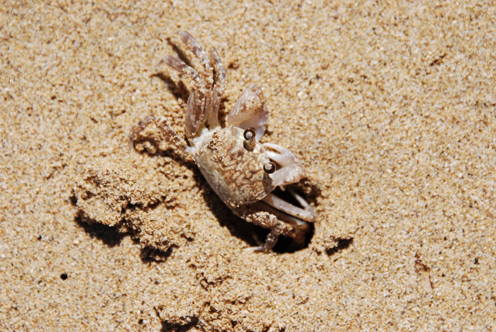 Kleine Krabbe