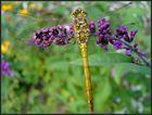 Kleine Libelle 1