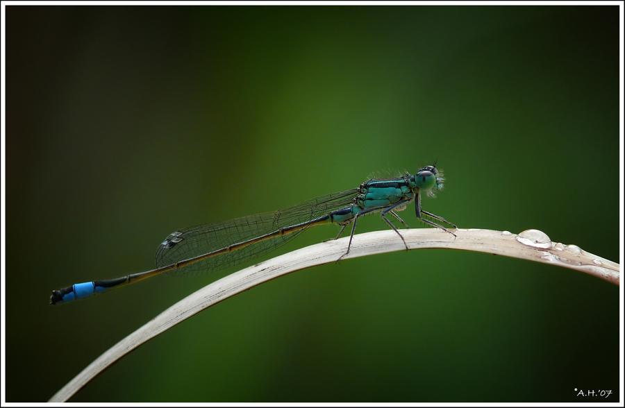 Kleine Libelle (3)