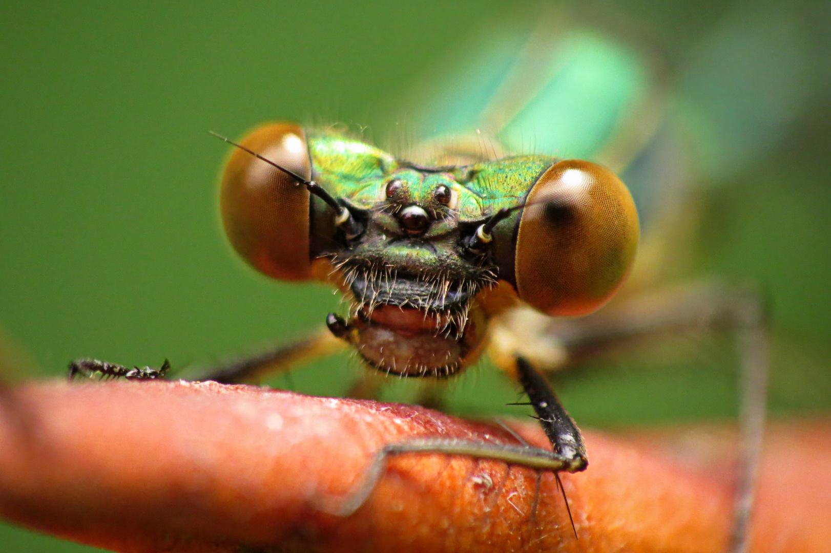 Kleine Libelle - ganz Groß