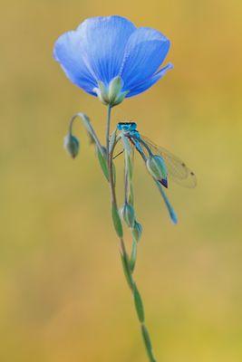 Kleine Libelle mit Milbenbefall