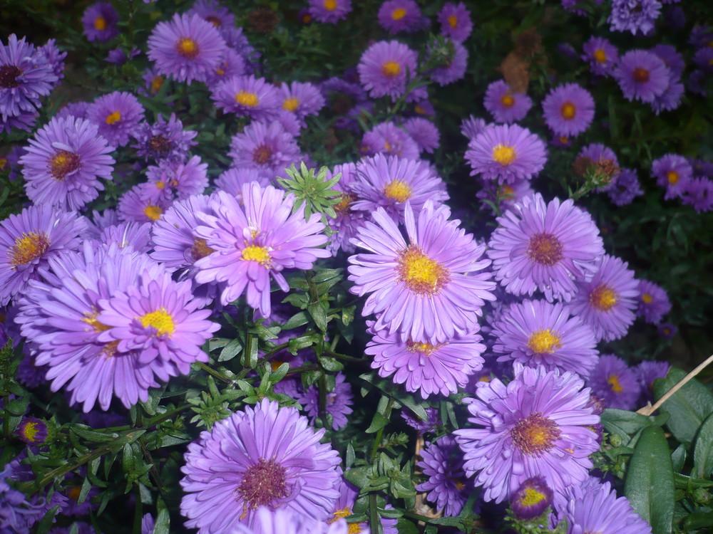 kleine lila Blümchen